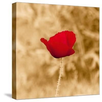 Poppy Solo-Joseph Eta-Stretched Canvas Print
