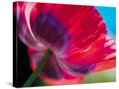 Radiant Poppy I-Ella Lancaster-Stretched Canvas Print