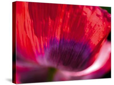 Radiant Poppy III-Ella Lancaster-Stretched Canvas Print