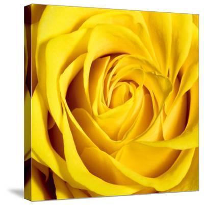 Yellow Rose-Joseph Eta-Stretched Canvas Print