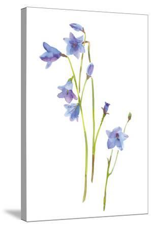 Harebells III-Sandra Jacobs-Stretched Canvas Print