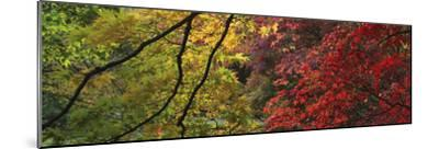 Maple Glade X-Bill Philip-Mounted Giclee Print