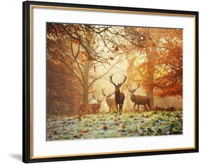 Four Red Deer in the Autumn Forest-Alex Saberi-Framed Art Print