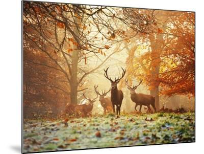 Four Red Deer in the Autumn Forest-Alex Saberi-Mounted Art Print