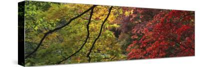 Maple Glade X-Bill Philip-Stretched Canvas Print