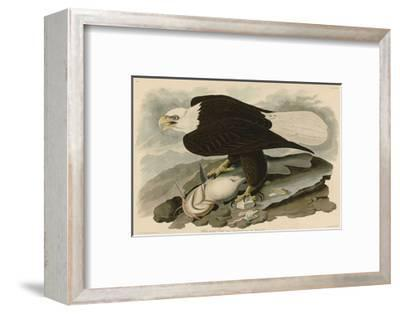 White-Headed Eagle-John James Audubon-Framed Giclee Print