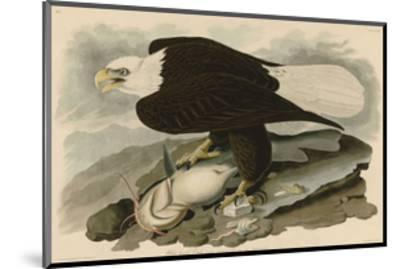 White-Headed Eagle-John James Audubon-Mounted Giclee Print