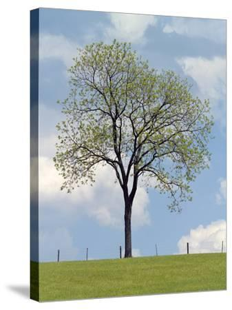 Tree Seasons I-Bill Coleman-Stretched Canvas Print
