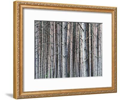 Birch Woods-Sandro De Carvalho-Framed Art Print