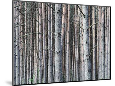 Birch Woods-Sandro De Carvalho-Mounted Art Print