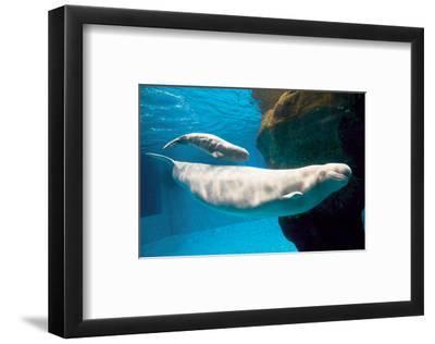Beluga Whales--Framed Art Print