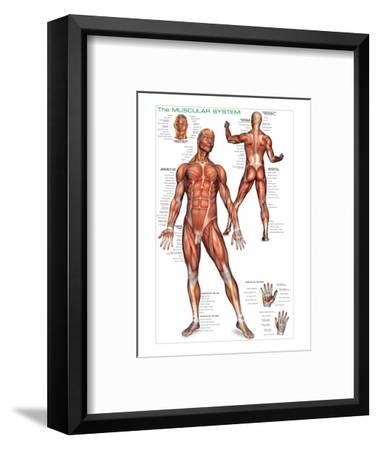 Muscular System--Framed Art Print