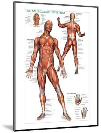Muscular System--Mounted Art Print