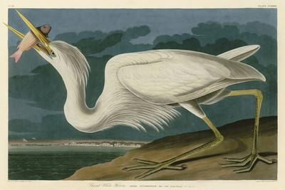 Great White Heron-John James Audubon-Art Print