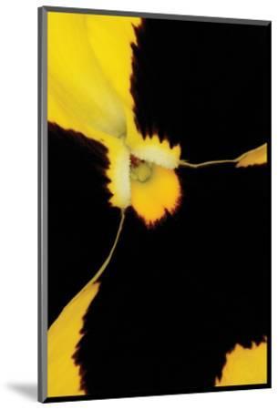 Yellow Pansy-Danny Burk-Mounted Art Print