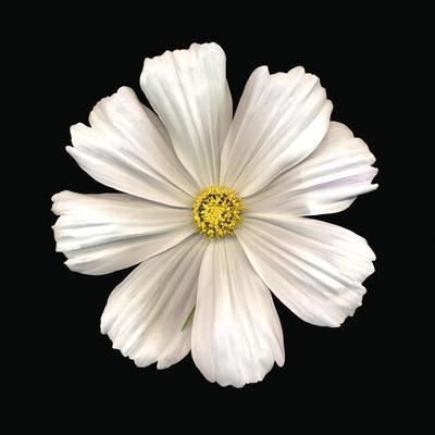 White Perfection II-Diane Lucas-Framed Art Print