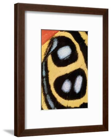 Callicore Sorana-Danny Burk-Framed Art Print
