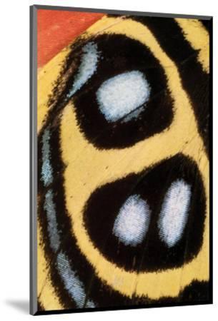 Callicore Sorana-Danny Burk-Mounted Art Print