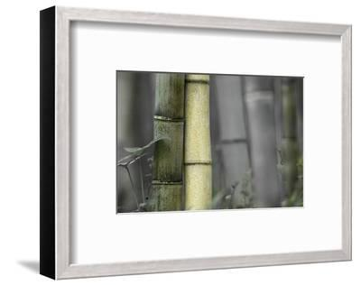 Bamboo-Karin Connolly-Framed Art Print