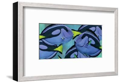 Blue Tang III-Melinda Bradshaw-Framed Art Print