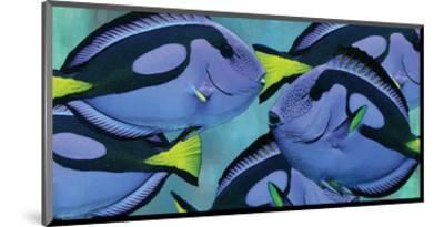 Blue Tang III-Melinda Bradshaw-Mounted Art Print