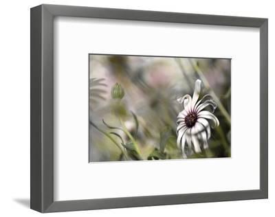 Silver Daisy I-Karin Connolly-Framed Art Print