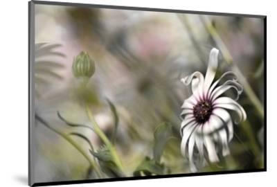 Silver Daisy I-Karin Connolly-Mounted Art Print