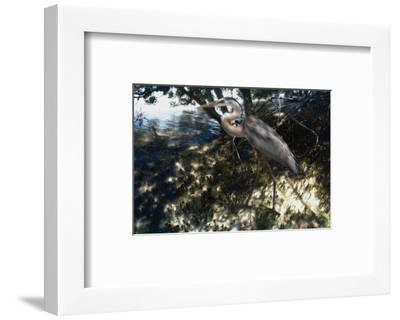 Mangrove Heron-Steve Hunziker-Framed Art Print