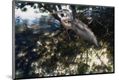 Mangrove Heron-Steve Hunziker-Mounted Art Print