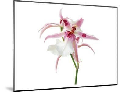 Pink Orchid--Mounted Art Print