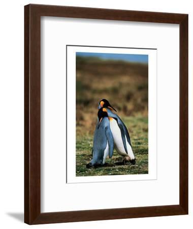 Penguins Falling Asleep--Framed Art Print