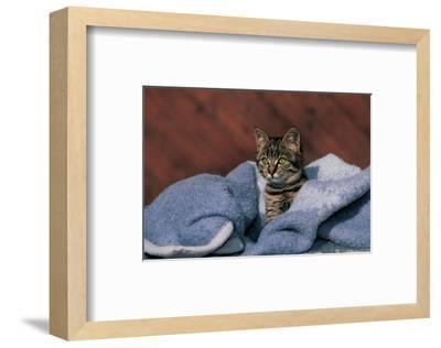Kitten On A Blue Blanket--Framed Art Print