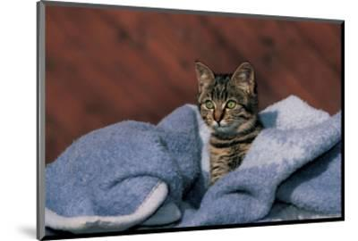 Kitten On A Blue Blanket--Mounted Art Print