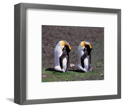 Pair Of King Penguins--Framed Art Print