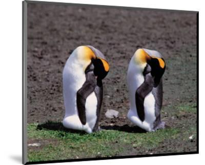 Pair Of King Penguins--Mounted Art Print