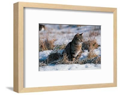 Cat Hunting In The Snow--Framed Art Print