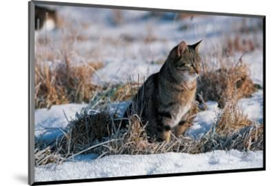 Cat Hunting In The Snow--Mounted Art Print