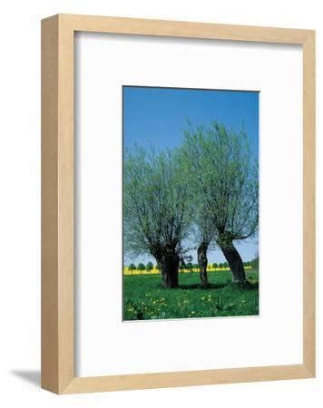 Willows In The Spring--Framed Art Print