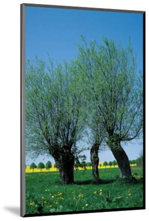Willows In The Spring--Mounted Art Print