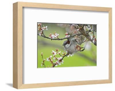 Cape May Warbler-Mike Grandmaison-Framed Art Print