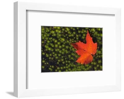 Red Maple Leaf-Mike Grandmaison-Framed Art Print
