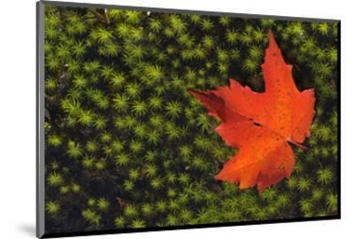 Red Maple Leaf-Mike Grandmaison-Mounted Art Print