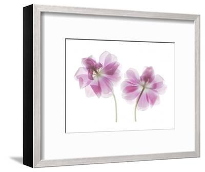 Double Tulip-Judy Stalus-Framed Art Print