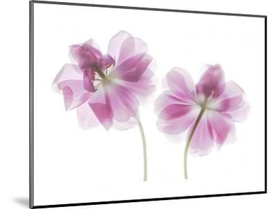 Double Tulip-Judy Stalus-Mounted Art Print