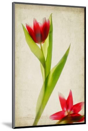 Red Tulips IV-Judy Stalus-Mounted Art Print