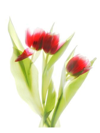 Red Tulips VI-Judy Stalus-Mounted Art Print