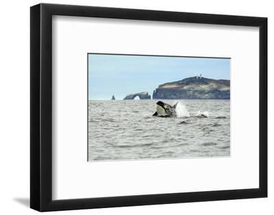 Orca Whale with Dolphin-Steve Munch-Framed Art Print