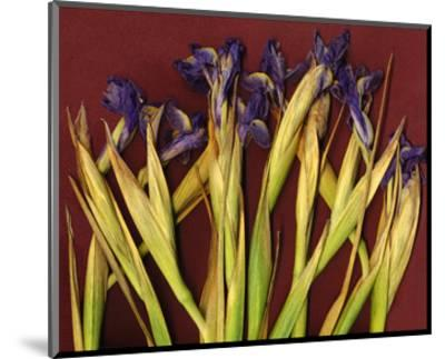 Purple Garden Irises--Mounted Art Print