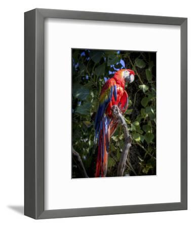 Macaw-Michael Polk-Framed Art Print
