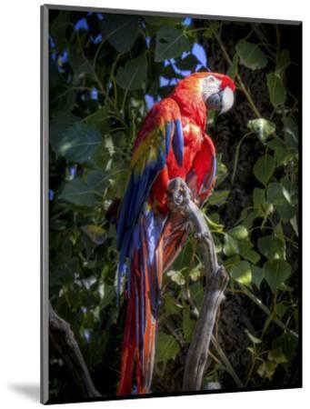 Macaw-Michael Polk-Mounted Art Print